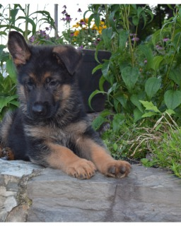 German Shepherd puppy outside