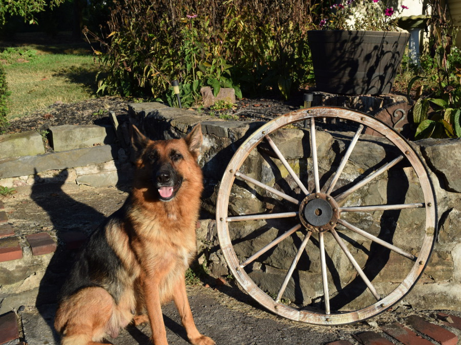 German Shepherd next to a wooden wheel