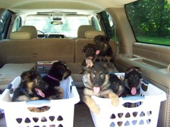 German Shepherds in laundry baskets in a van