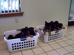 German Shepherds in laundry baskets