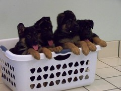 German Shepherd puppies in a laundry basket