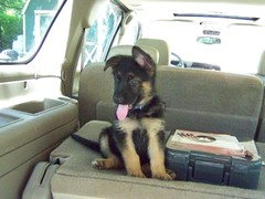 German Shepherd puppy in a car