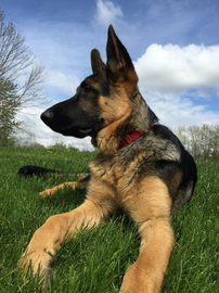 German Shepherd in PA