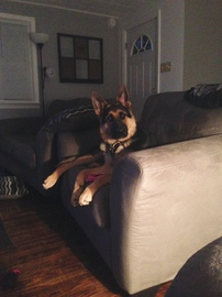German Shepherd relaxing