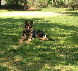 German Shepherd sitting in the shade