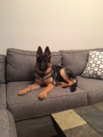 Watchman German Shepherd Relaxing